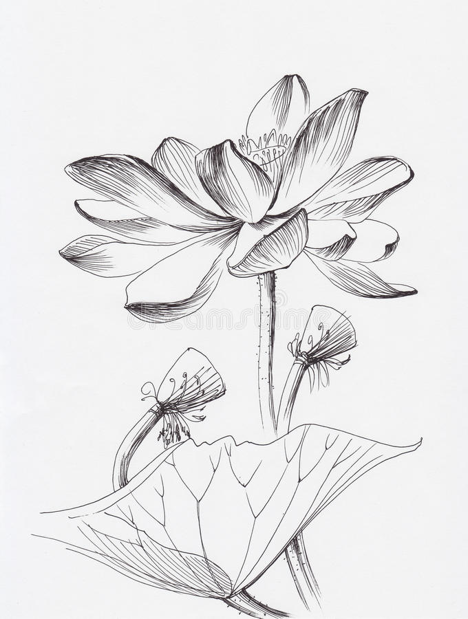 Chinese Flower Line Drawing : Lotus flower line art stock illustration of