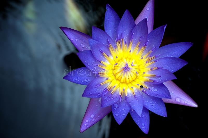 Download Lotus Flower Macro stock image. Image of blooming, detail - 14628981