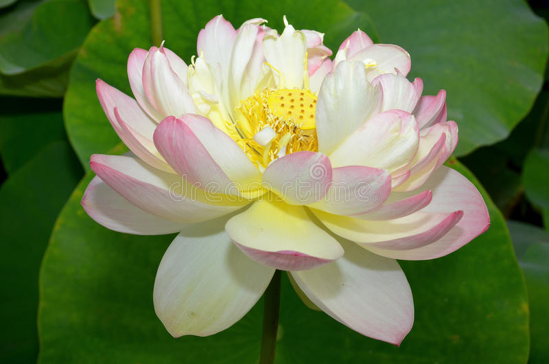 Lotus flower stock photo image of flower calm detail 50918490 download lotus flower stock photo image of flower calm detail 50918490 mightylinksfo
