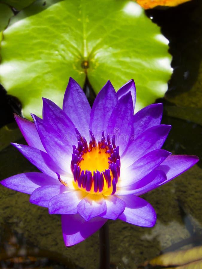 Lotus flower stock image image of leaf lotus botany 33564641 download lotus flower stock image image of leaf lotus botany 33564641 mightylinksfo