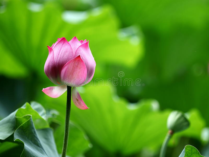 Lotus flower. The lotus of Nymphaeales, Nelumbonaceae aquatic perennial herbaceous flowers, native to tropical Asia andtemperate regions. In 1985 May he was royalty free stock photography