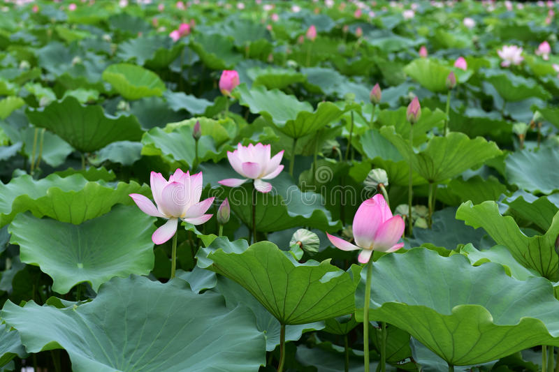 Lotus flower. The lotus flower in the park stock photo