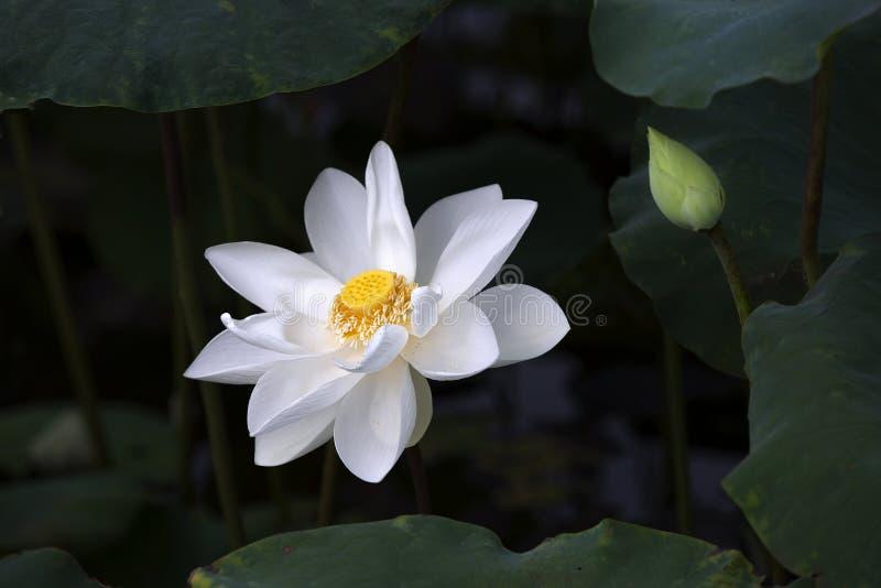 Lotus flower royalty free stock photos