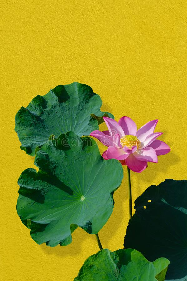 Lotus flower pink and green lotus leaves against gold wall background. Have clipping path stock images