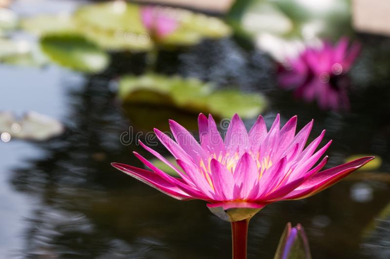 Lotus flower in pink purple violet color with green leaves in nature water pond. light orbs. Lotus flower in pink purple violet color with green leaves in stock photos