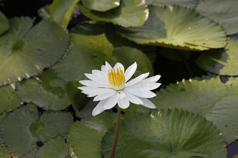 A lotus flower in a pond. A lotus flower or water lily in a botanic garden in a little pond stock images