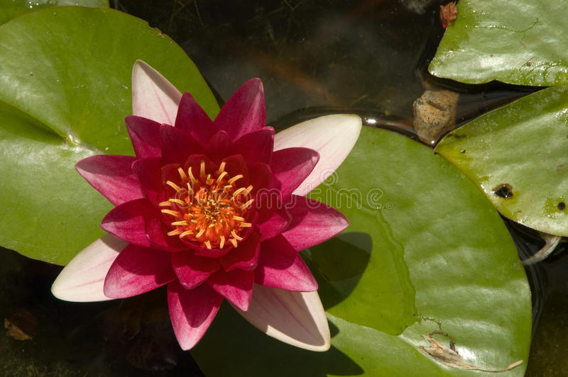 Lotus Flower In Pond cor-de-rosa imagem de stock royalty free