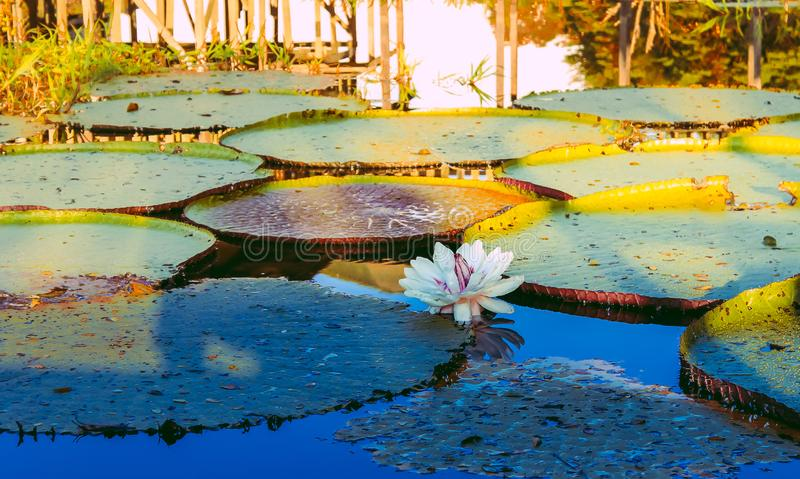 Lotus flower on a pond. Lotus flower on a , nature, natural, nopeople, photography, sunset, light, water, amazon, amazing, beautiful, white, reflection royalty free stock image