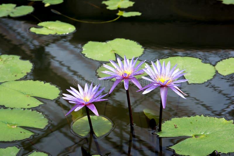 Lotus flower in pond. Purple lotus flower. Purple water lily in pond. Purple Lotus flower in pond. Purple lotus flower. Purple water lily in pond royalty free stock photos