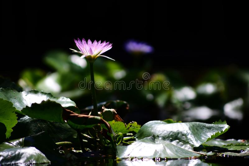 Lotus flower stand alone in the pool. royalty free stock image