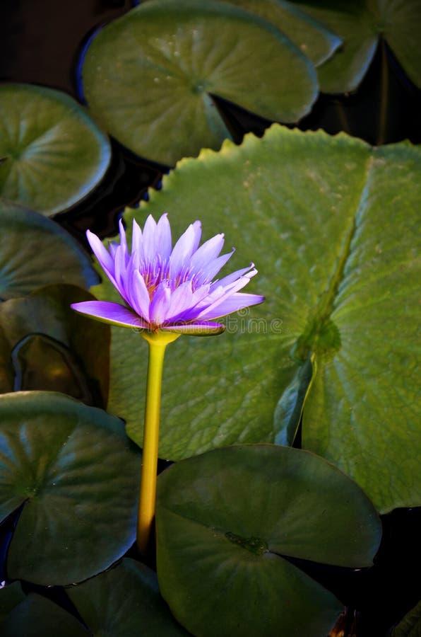 Lotus Flower porpora e grande Lotus Leaves fotografie stock