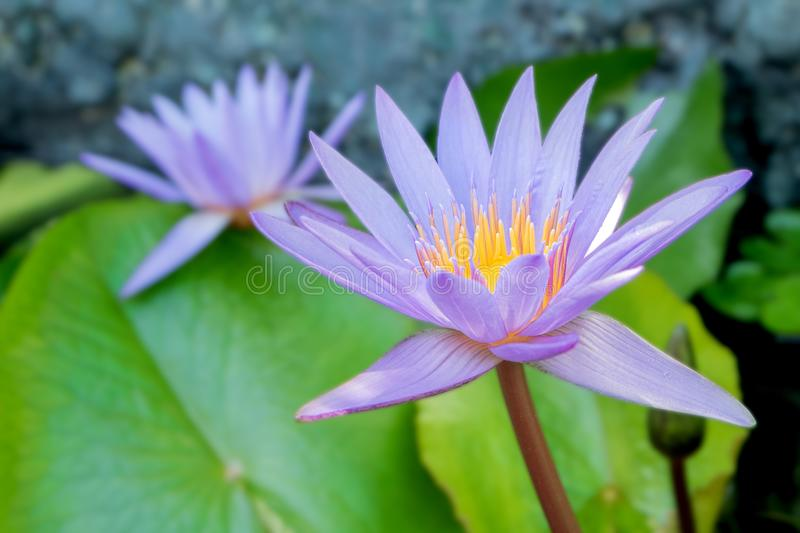 Lotus flower in purple violet color with green leaves in nature water pond stock photography