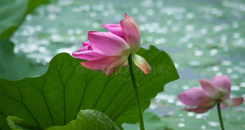 Lotus Flower rose avec des feuilles et Bokeh de vert image stock