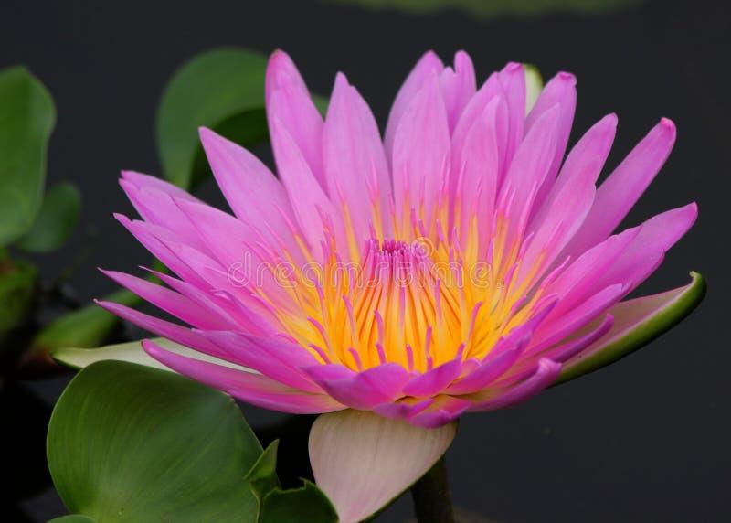 Lotus Flower rose sur l'étang photos stock
