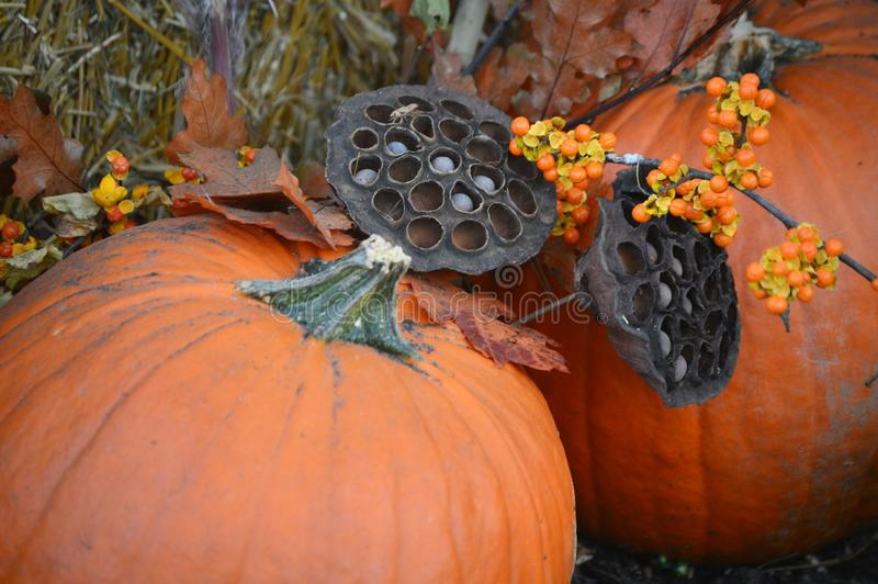 Fall Display Lotus Flower Seed Pods with Pumpkins stock image
