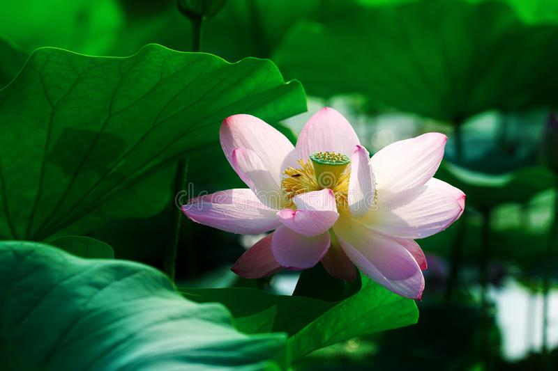 The lotus flower and seedpod of the lotus. The photos was taken in ecological garden of Daqing city Heilongjiang province, China stock photos