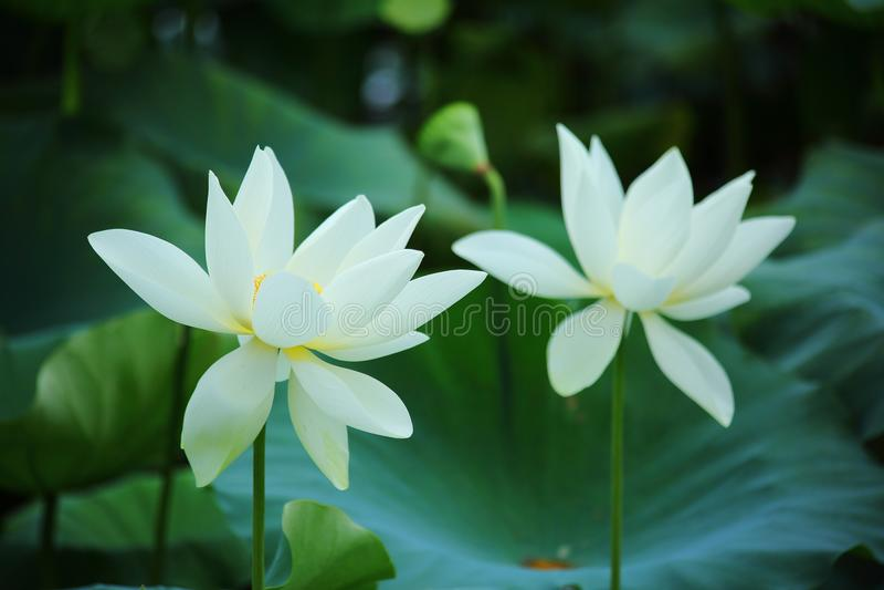 White Lotus flower in Summer stock images