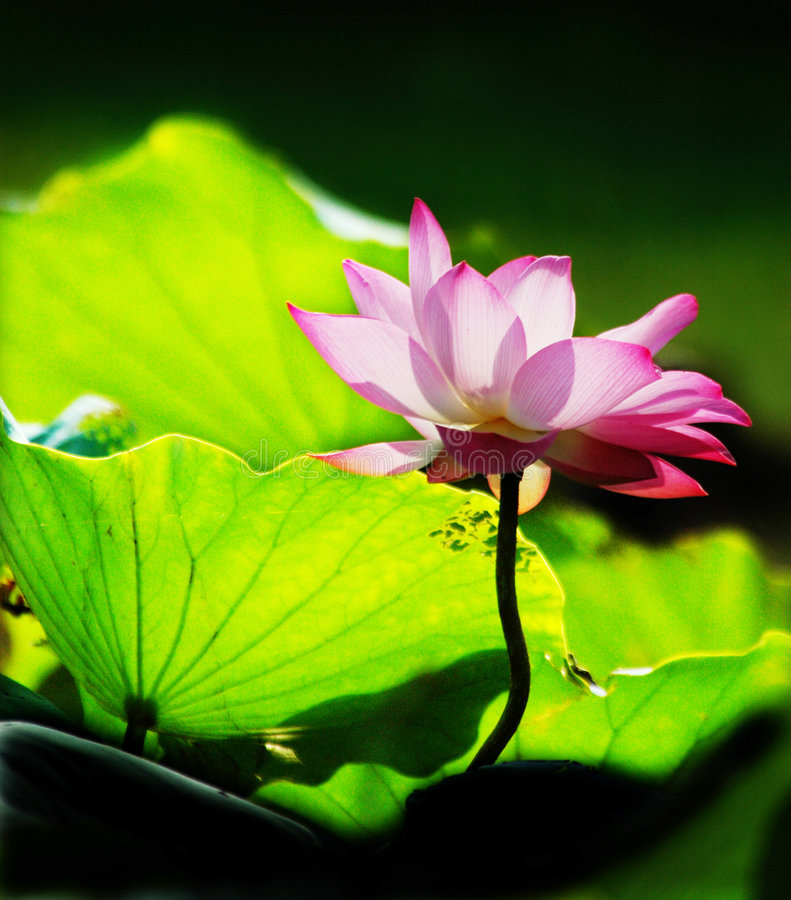 Lotus flower in summer morning. A bloomy pink lotus flower in the summer morning sunshine stock photo