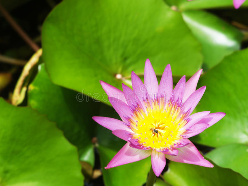 Download Lotus flower stock image. Image of plant, backgrounds - 32142409