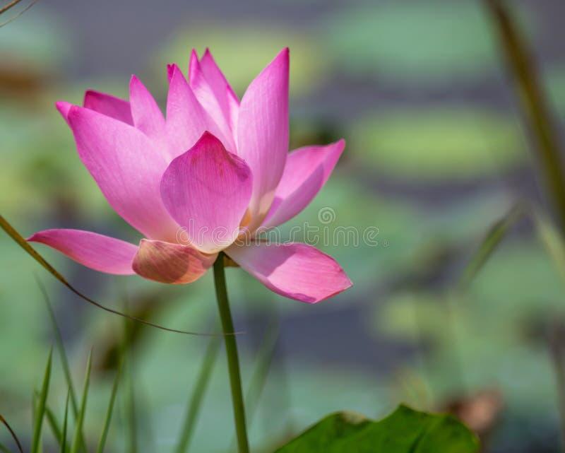 Lotus Flower VI photographie stock libre de droits