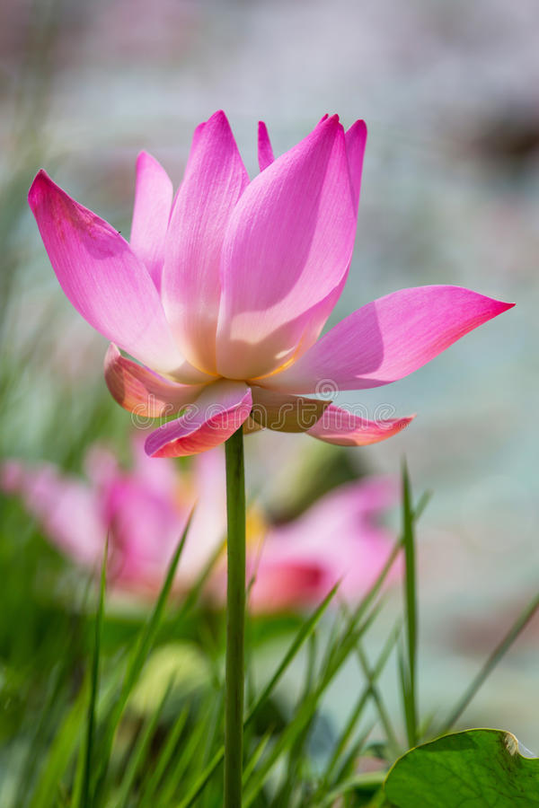 Lotus Flower VII photographie stock libre de droits