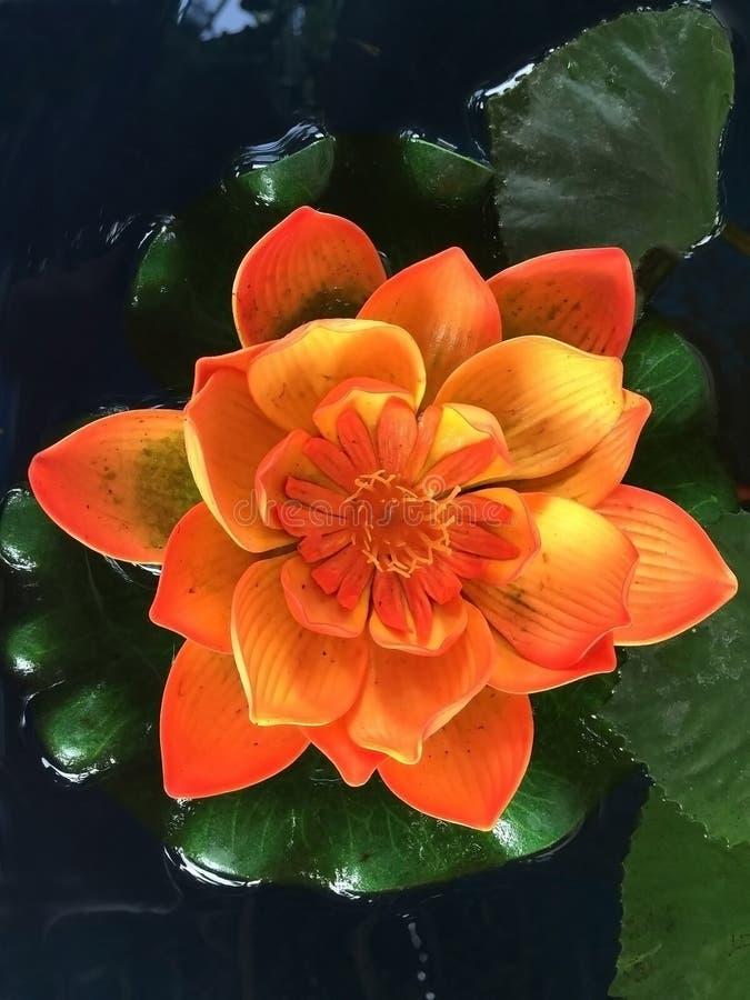 Lotus flower at Wat Arun temple. royalty free stock image