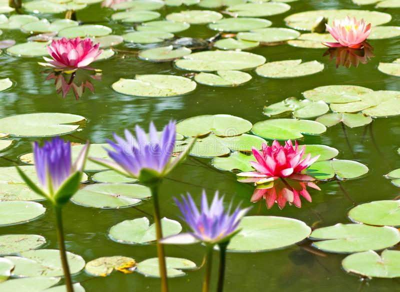 Lotus flower on the water. Image of lotus flower on the water royalty free stock images