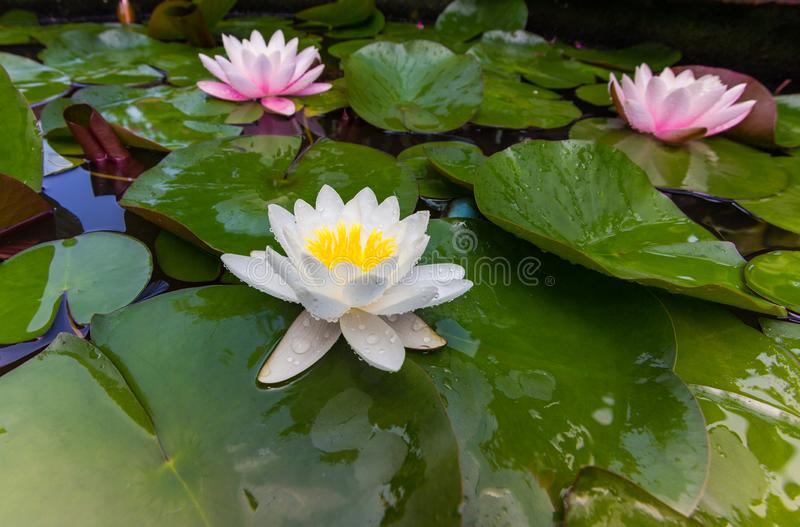 Lotus flower. water lilies. On close up in home garden stock photo