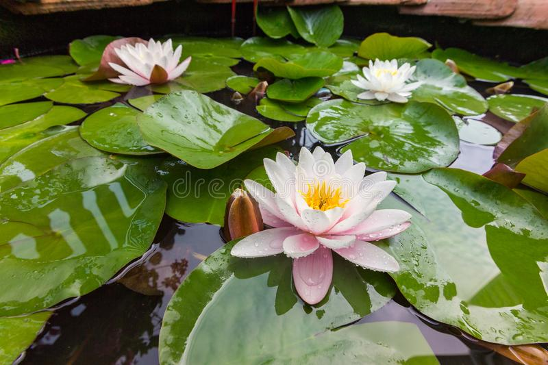 Lotus flower. water lilies. On close up in home garden stock photography