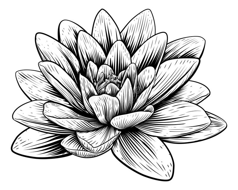 Lotus Flower Water Lily Vintage Woodcut Etching. A lotus lily water flower in a vintage woodcut engraved etching style vector illustration