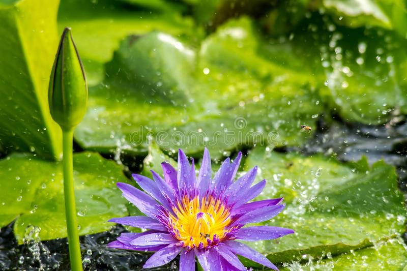 Lotus flower or water lily on water with rain drop background royalty free stock photos