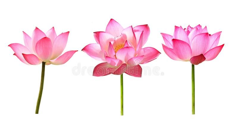 The lotus flower on white background stock photo