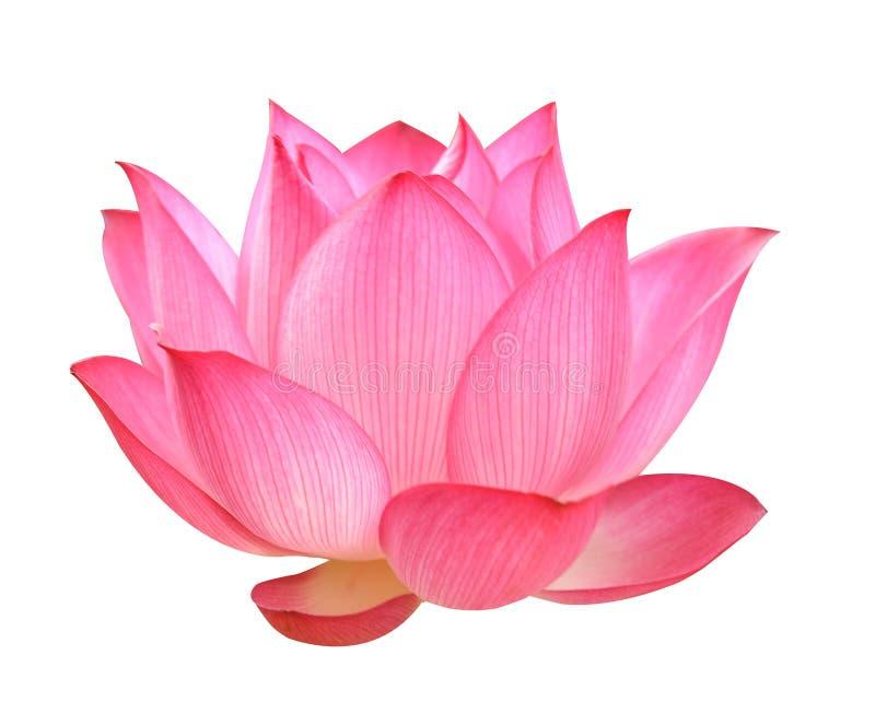 Lotus flower on white background stock photos