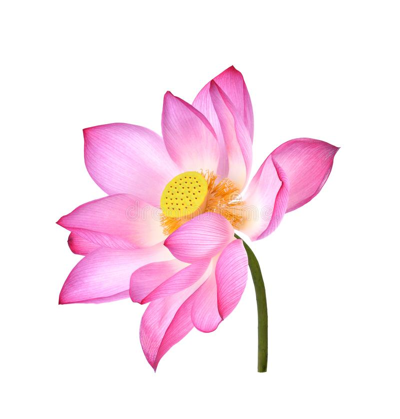 Lotus flower on white background. royalty free stock images