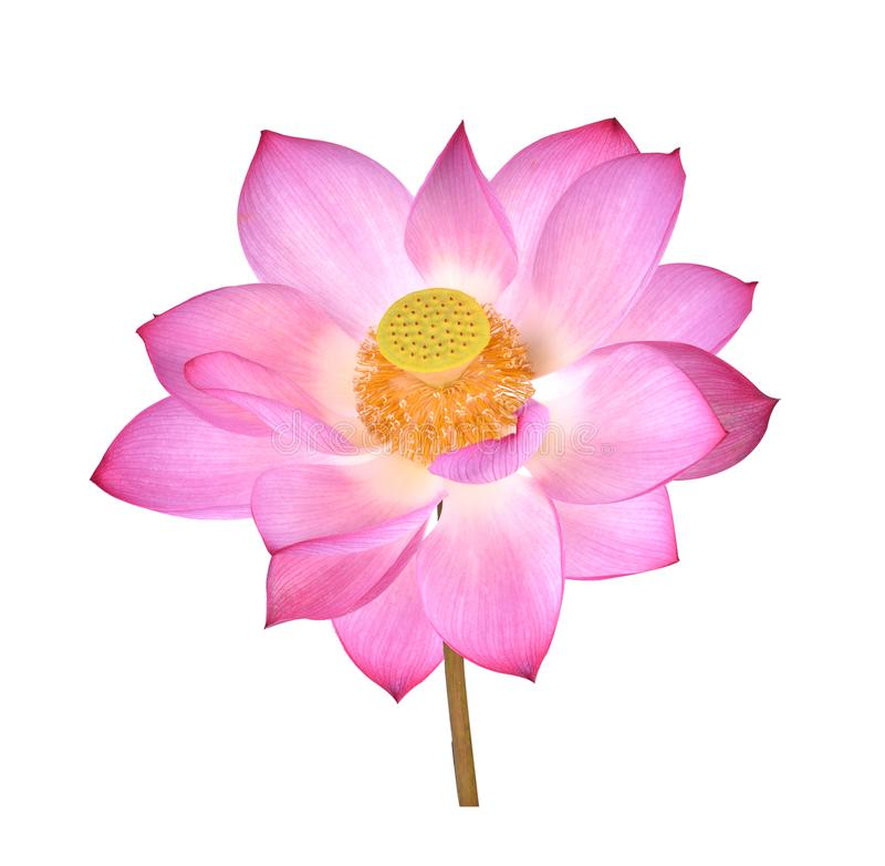 Lotus flower  on white background stock photography