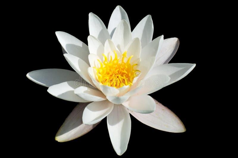 Lotus flower. White lotus flower isolated on black stock photo