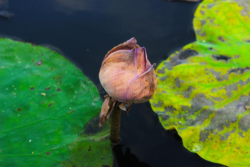 The lotus flower wither in a pond. At the park royalty free stock photography