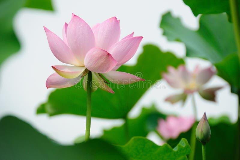 Lotus Flowers imágenes de archivo libres de regalías