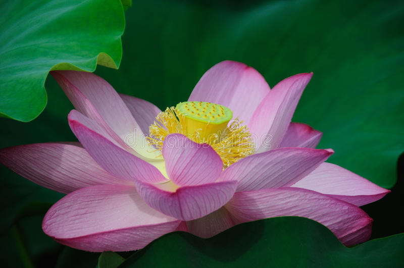 Lotus Flowers stock afbeelding