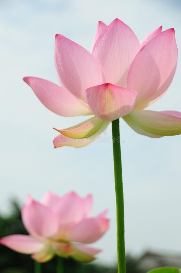 Lotus Flowers stock afbeeldingen