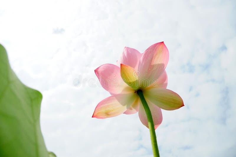 Lotus Flowers royalty-vrije stock afbeeldingen