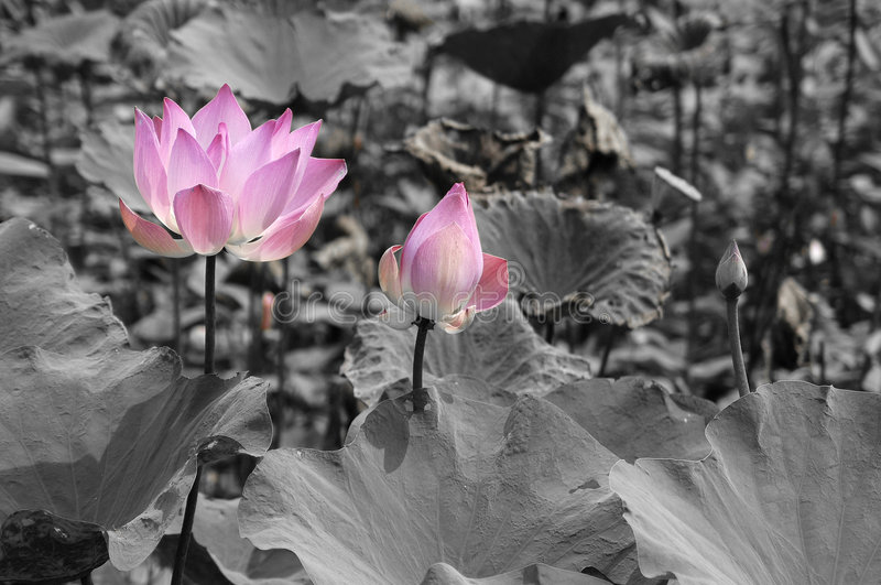 Lotus Flowers. Pink lotus flowers isolated in a black and white pond