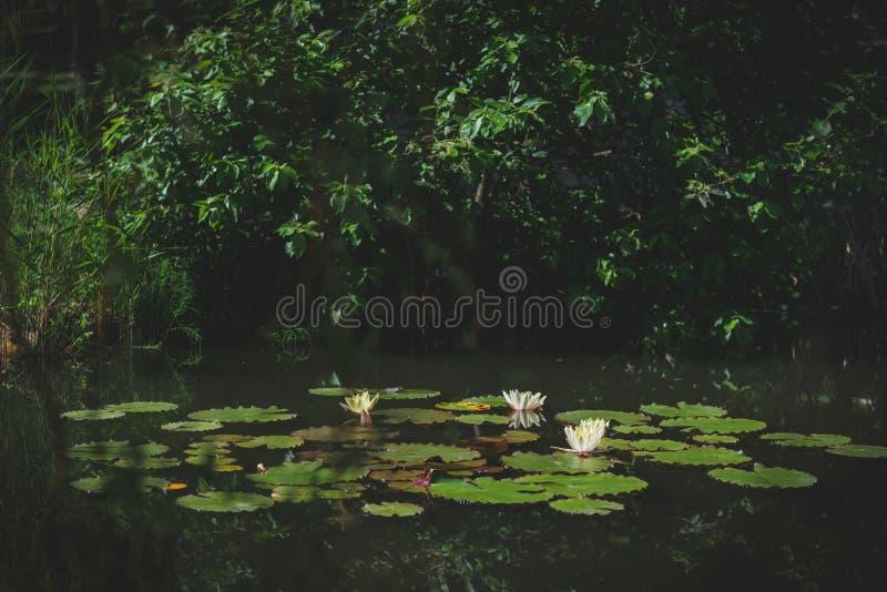 Lotus Flowers immagini stock libere da diritti