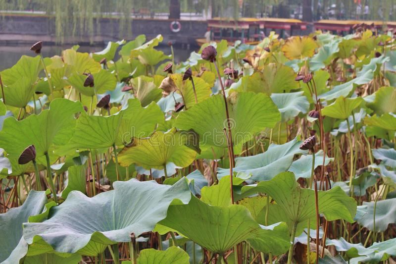 Lotus flowers in Beihai Park royalty free stock photo