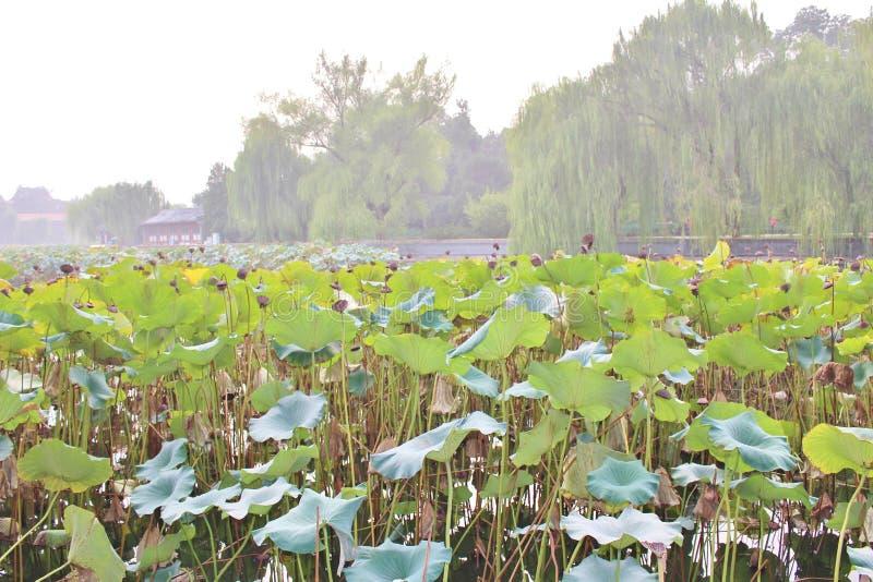Lotus flowers in Beihai Park royalty free stock images
