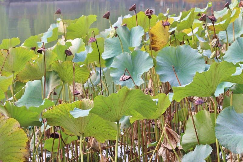 Lotus flowers in Beihai Park royalty free stock image