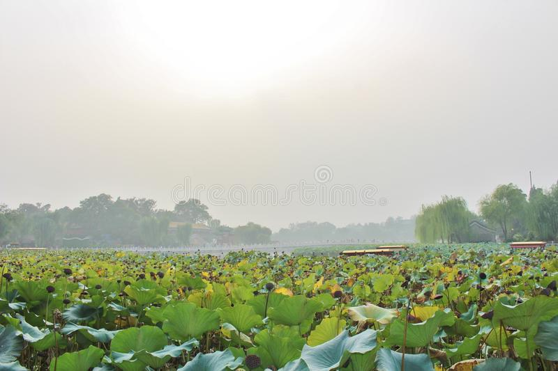 Lotus flowers in Beihai Park. Beihai is a large park in central Beijing, People's Republic of China's capital. Beihai originally formed part of the Forbidden stock image