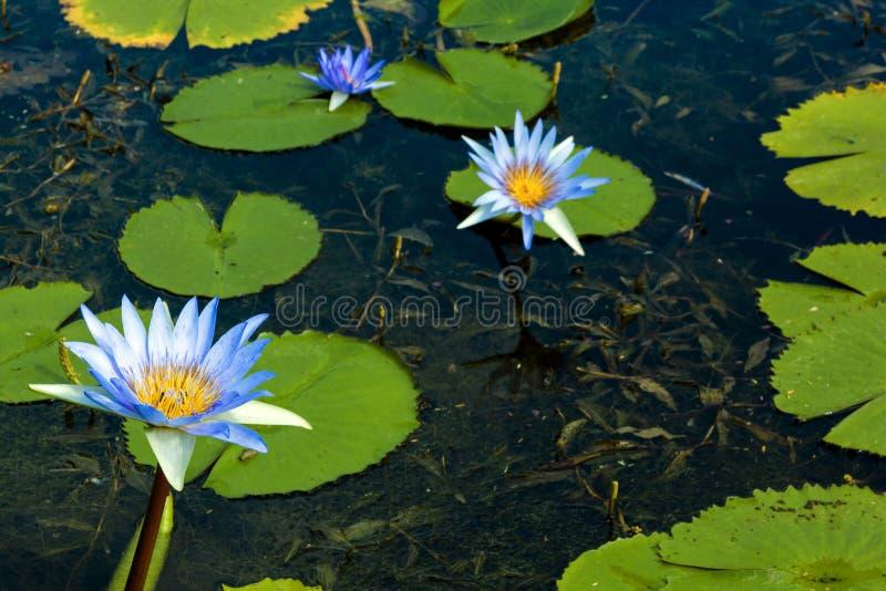 Lotus Flowers bleue avec Lilly Pads verte sur l'étang photos stock