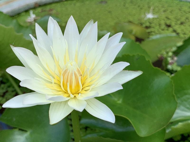 Lotus flowers bloom very beautiful (a close-up image or macro) royalty free stock image