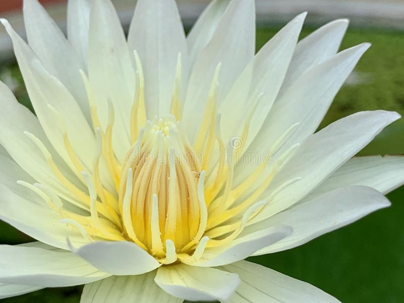 Lotus flowers bloom very beautiful (a close-up image or macro) stock photography